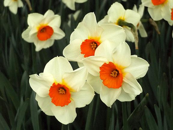 Roozengaarde-daffodils-Skagit-Valley