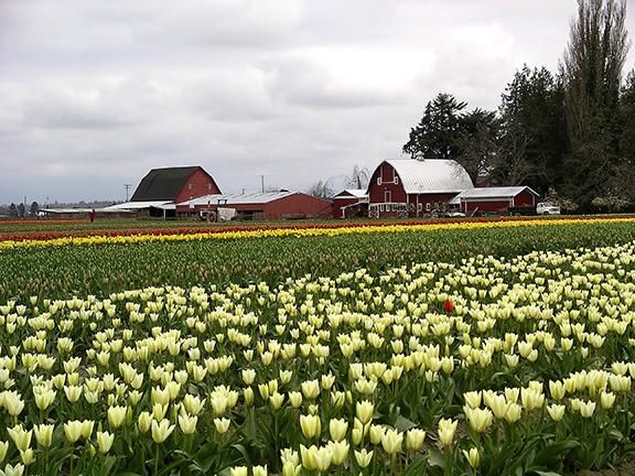 Roozengaarde-tulip-fields-Skagit-Valley