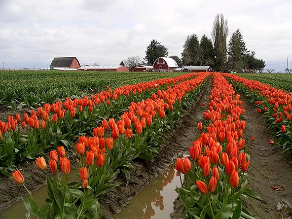 Roozengaarde-tulip-fields-Skagit-Valley2