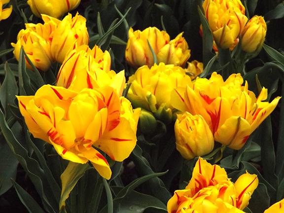 Roozengaarde-tulips-Skagit-Valley