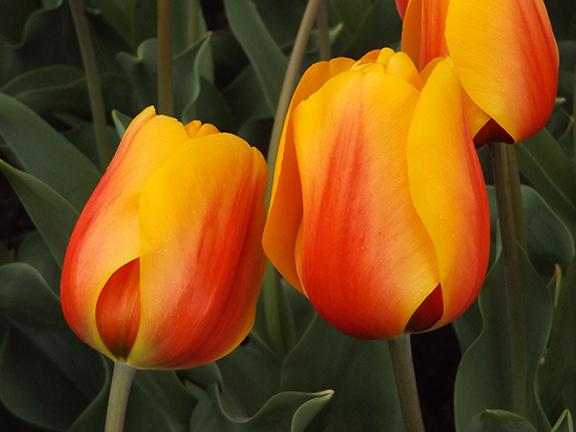 Roozengaarde-tulips-Skagit-Valley2