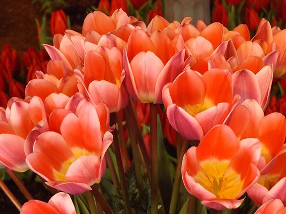 Tulip-Town-Skagit-Valley4