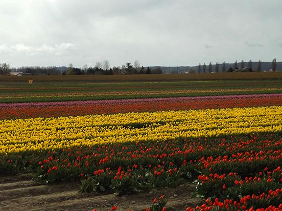Tulip-Town-Skagit-Valley9