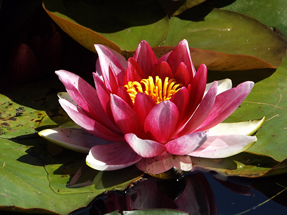 Water-lily-Mingus-Park-Coos-Bay3