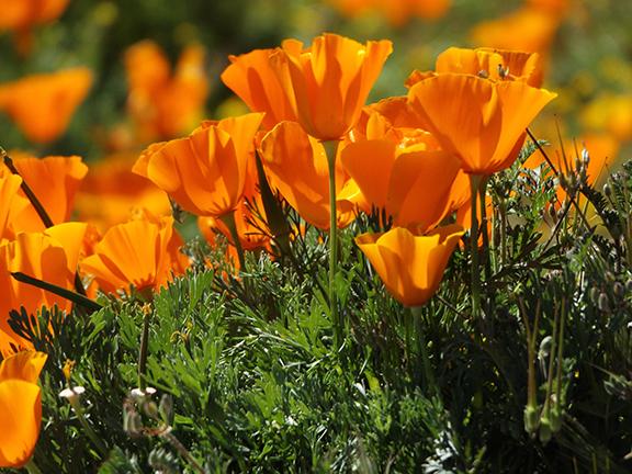Antelope-Valley-Poppy-Reserve