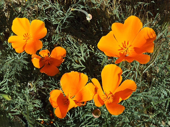 Antelope-Valley-Poppy-Reserve10