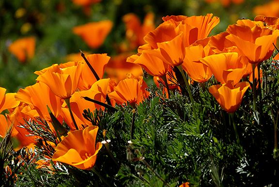 Antelope-Valley-Poppy-Reserve11