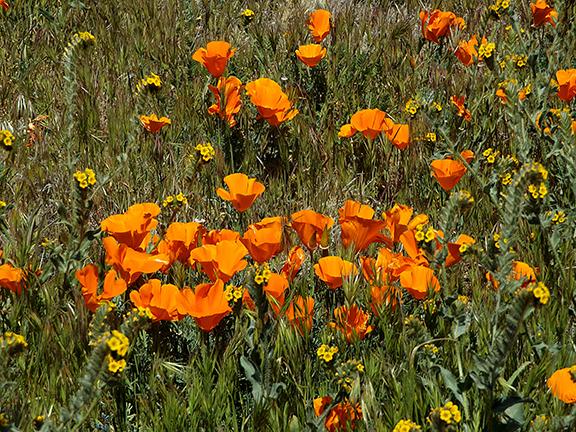 Antelope-Valley-Poppy-Reserve4