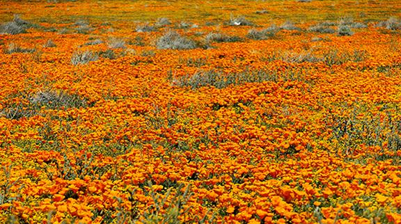 Antelope-Valley-Poppy-Reserve6