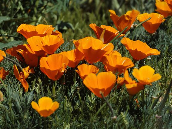Antelope-Valley-Poppy-Reserve7