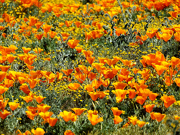 Antelope-Valley-Poppy-Reserve8