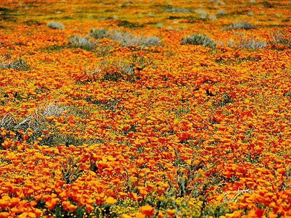 Antelope-Valley-Poppy-Reserve9