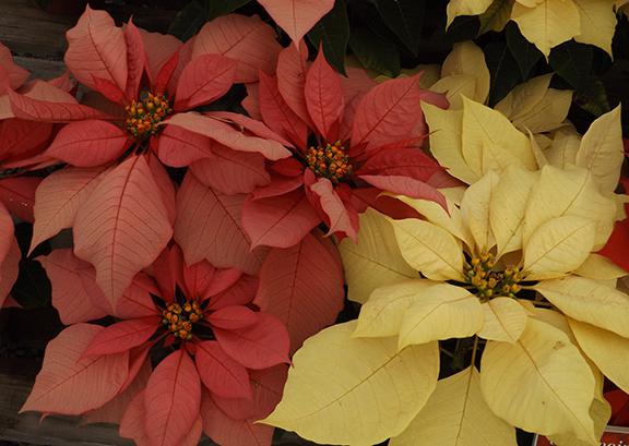 Flower-Fields-Carlsbad-California11