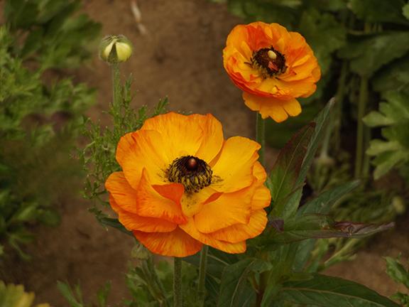 Flower-Fields-Carlsbad-California15