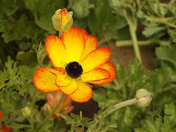 Flower-Fields-Carlsbad-California16