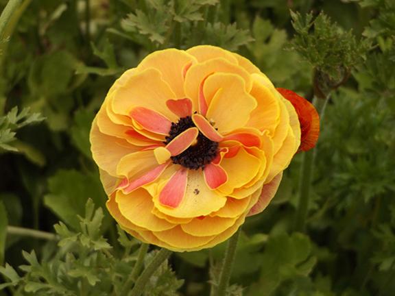 Flower-Fields-Carlsbad-California17