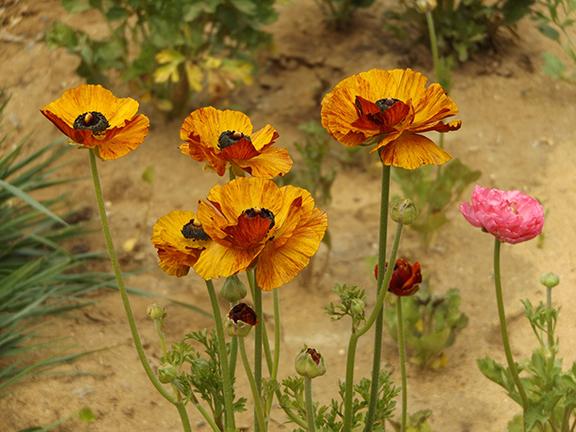 Flower-Fields-Carlsbad-California18