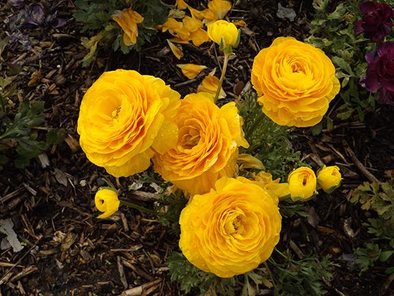 Flower-Fields-Carlsbad-California2