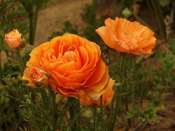 Flower-Fields-Carlsbad-California20