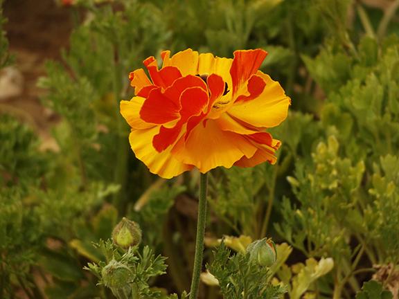 Flower-Fields-Carlsbad-California21