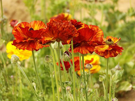 Flower-Fields-Carlsbad-California22