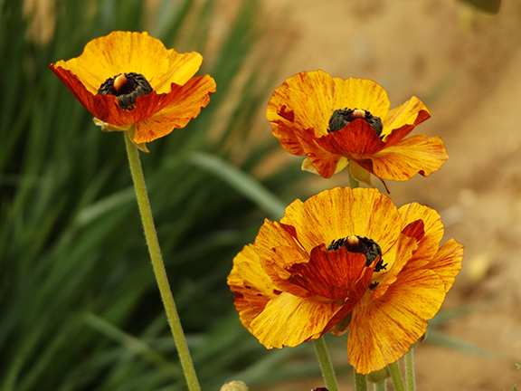 Flower-Fields-Carlsbad-California23