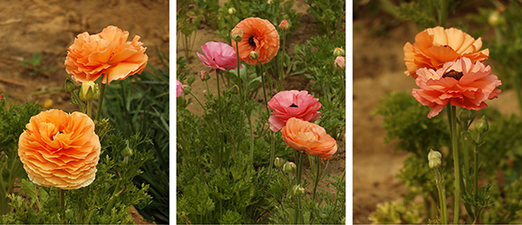 Flower-Fields-Carlsbad-California26