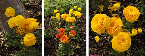 Flower-Fields-Carlsbad-California27