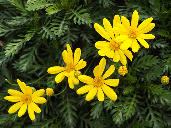 Flower-Fields-Carlsbad-California6