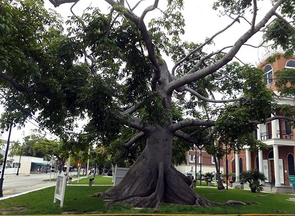 Kapok-tree-Key-West