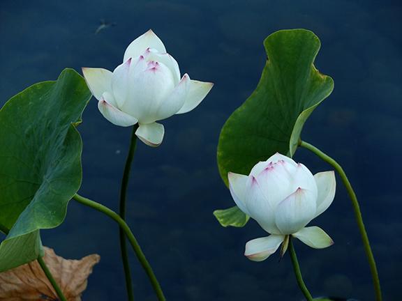 Lan-Su-Chinese Garden-Portland-Oregon13