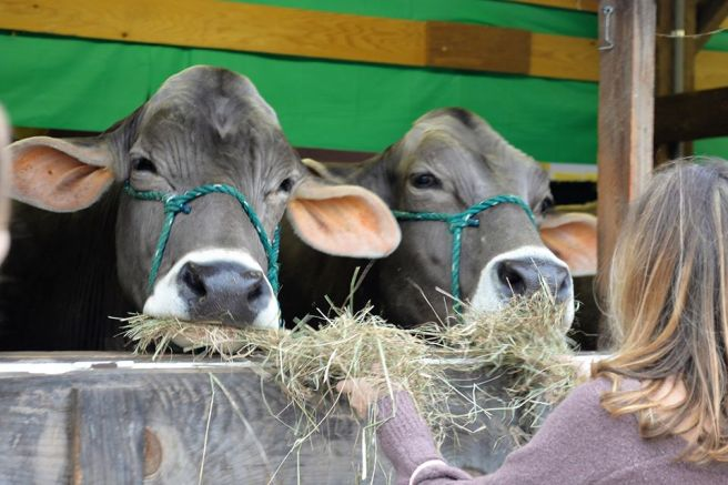 cows-at-Fryeburg-Fair