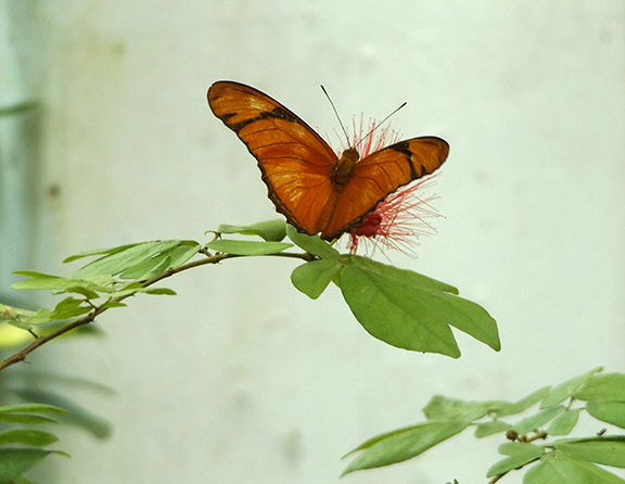 Key-West-Butterfly-and-Nature-Conservatory10