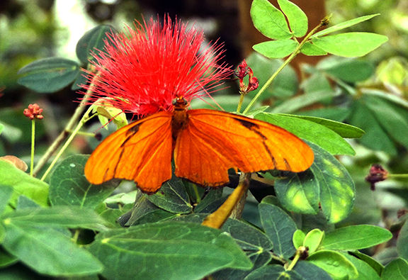Key-West-Butterfly-and-Nature-Conservatory2