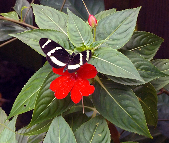 Key-West-Butterfly-and-Nature-Conservatory7