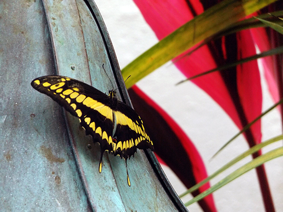 Key-West-Butterfly-and-Nature-Conservatory8