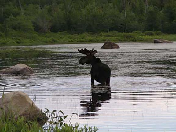 moose-watching-Millinocket-Maine