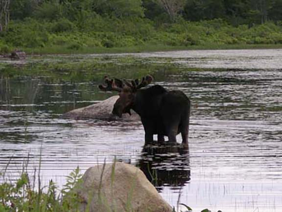 moose-watching-Millinocket-Maine2.