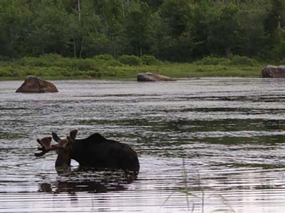 moose-watching-Millinocket-Maine3.