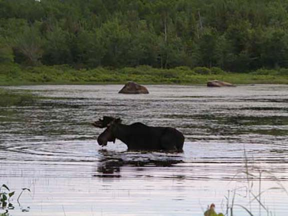 moose-watching-Millinocket-Maine4.