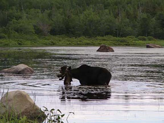 moose-watching-Millinocket-Maine5