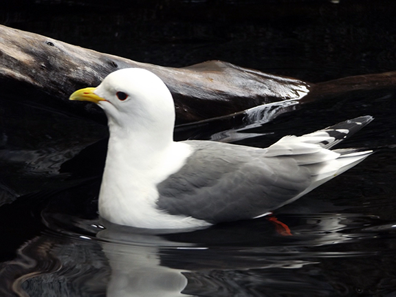 Alaska-SeaLife-Center-red-legged-kittiwake2