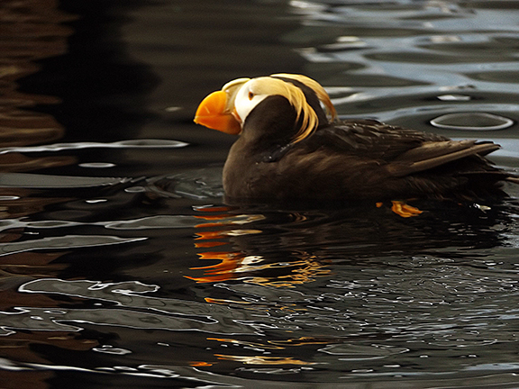 Alaska-SeaLife-Center-tufted-puffin