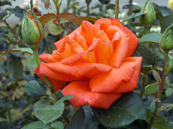 Heirloom-Roses-Saint-Paul-Oregon10