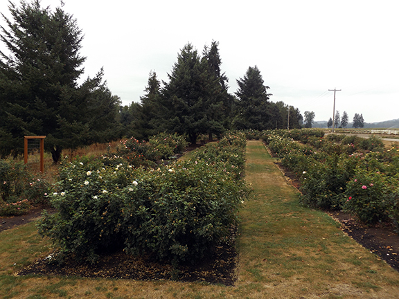 Heirloom-Roses-Saint-Paul-Oregon11