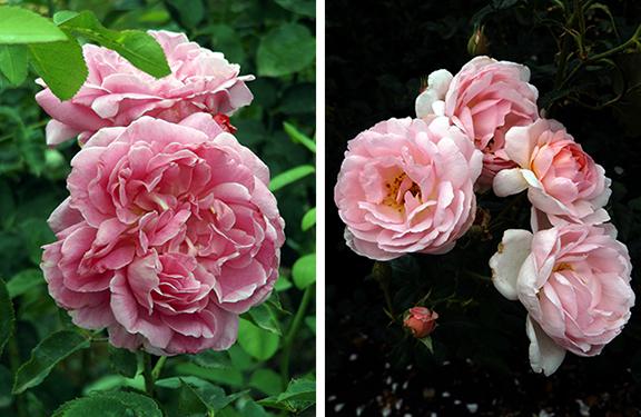 Heirloom-Roses-Saint-Paul-Oregon12