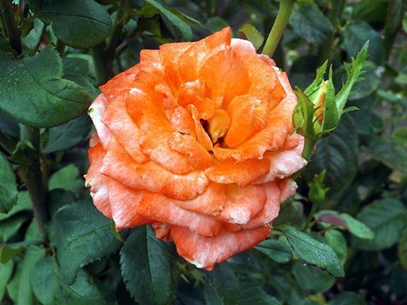 Heirloom-Roses-Saint-Paul-Oregon4