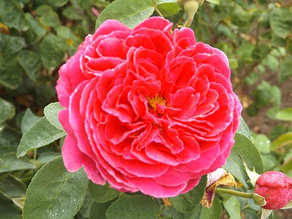 Heirloom-Roses-Saint-Paul-Oregon5