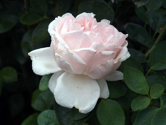 Heirloom-Roses-Saint-Paul-Oregon6
