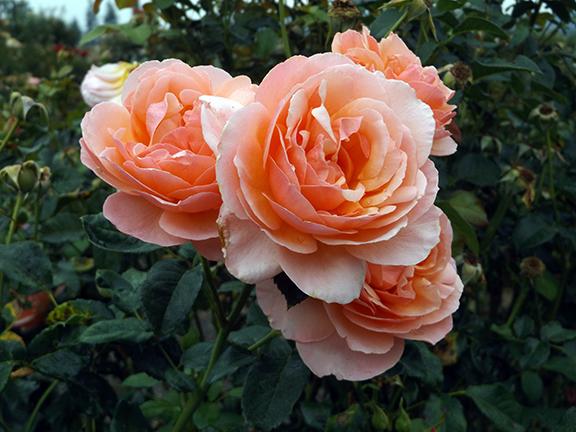Heirloom-Roses-Saint-Paul-Oregon7